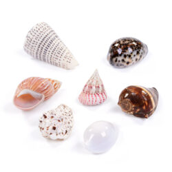 Set of 7 Medium Seashells