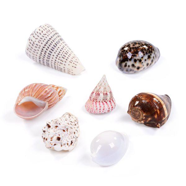 Set of 7 Medium Seashells